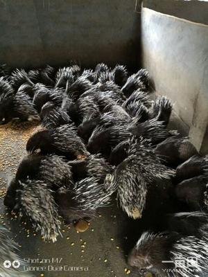 广西壮族自治区贺州市八步区广西豪猪 20-30斤