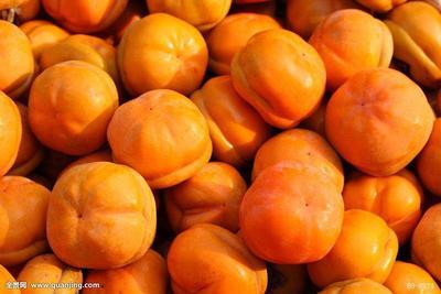 河北省保定市易县磨盘柿子 4 - 5两以上