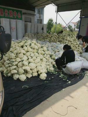 江苏省徐州市沛县白面青梗松花菜 适中 2~3斤 乳白色