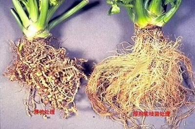 江苏省南京市江宁区厚孢轮枝菌