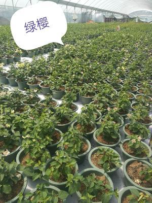 福建省漳州市芗城区绿樱三角梅 0.2~0.5米