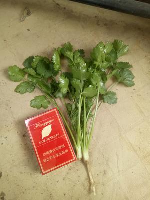 河南省商丘市宁陵县大叶香菜 20~25cm