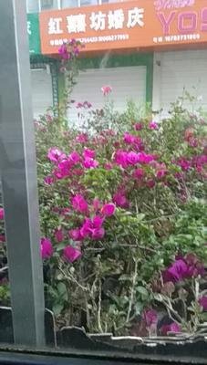 四川省广元市苍溪县紫花三角梅 0.5~1.0米