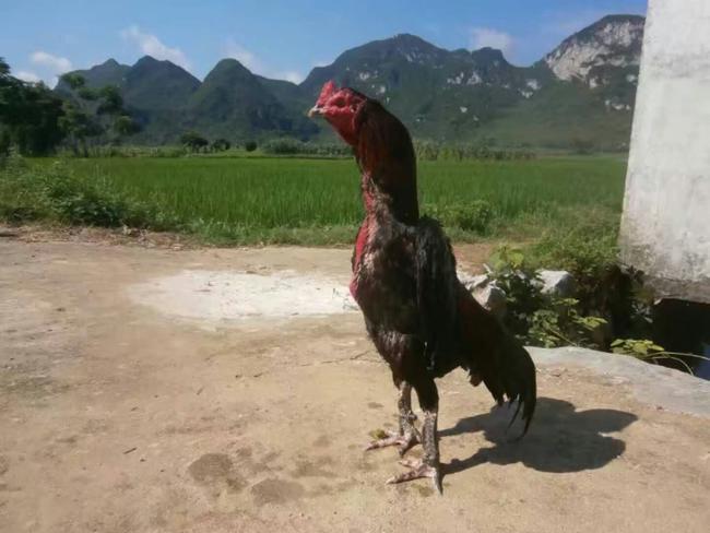 斗鸡 公 6-7斤