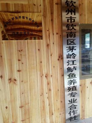 广西壮族自治区防城港市防城区海鲈鱼 人工养殖 1-1.5公斤