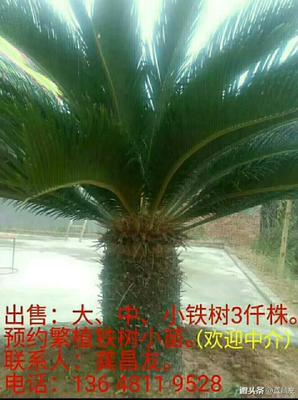 四川省绵阳市梓潼县四川苏铁