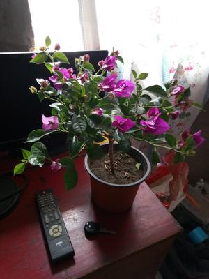 吉林省松原市扶余市紫花三角梅 0.2~0.5米
