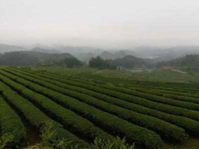 贵州省铜仁市石阡县石阡苔茶 散装 三级