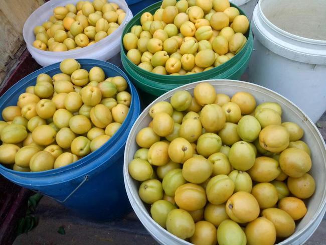 珍珠油杏苗