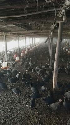 山东省菏泽市郓城县灰色珍珠鸡 2-4斤