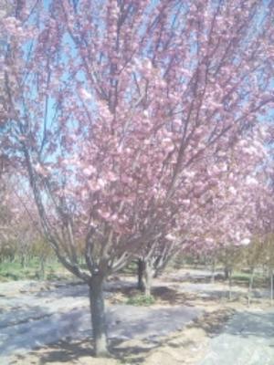 山东省泰安市岱岳区樱花 4公分以下 1.5~2米