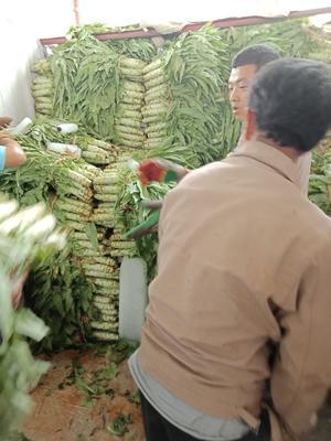 河北省保定市定州市青皮香莴笋 70cm以上 1.0~1.5斤