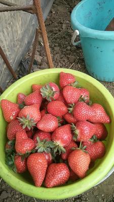 河北省唐山市丰润区美国甜查理草莓 30克以上