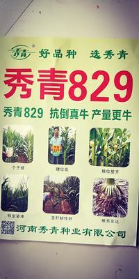 河南省安阳市滑县玉米种子