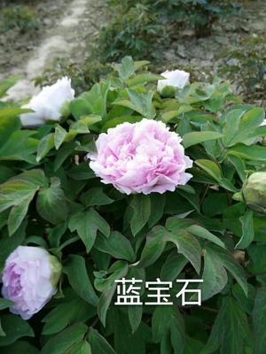 山东省菏泽市牡丹区观赏牡丹 2cm以下 4cm以下 0.5~1米
