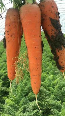 山东省青岛市即墨市三红胡萝卜 15cm以上 3两以上 5cm以上