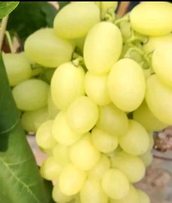 维多利亚葡萄 5%以下 1次果 1.5- 2斤