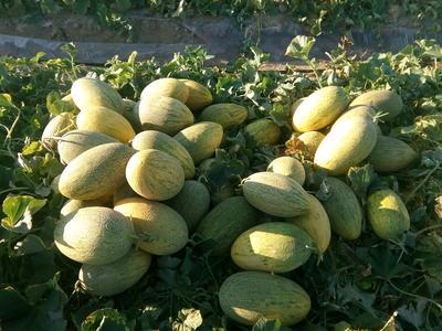 新疆维吾尔自治区阿勒泰地区阿勒泰市红小豆 纯粮率≥98% 散装