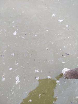 广东省广州市花都区翘嘴鳜 人工养殖 0.8斤以下