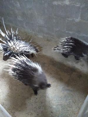 广西壮族自治区贺州市八步区亚洲豪猪 30-40斤