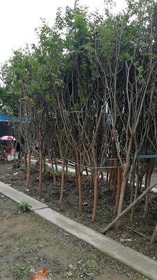 江苏省常州市武进区紫薇树