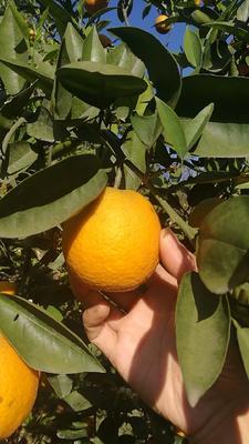 这是一张关于夏橙 65 - 70mm 4两以下的产品图片