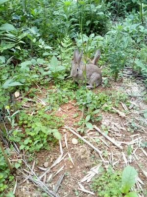 江西省上饶市德兴市杂交野兔 3-5斤