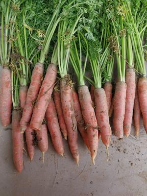 甘肃省白银市靖远县陕西秤杆红萝卜 15cm以上 3两以上 3~4cm