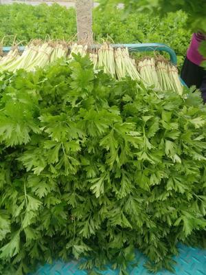 山东省聊城市东阿县香芹 40~45cm 大棚种植 0.5~1.0斤