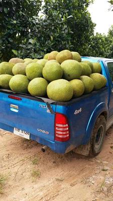 云南省西双版纳傣族自治州景洪市泰国菠萝蜜 15斤以上