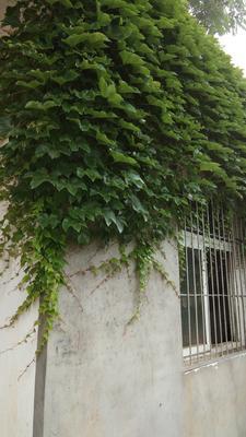安徽省合肥市肥西县爬山虎 1米以下 3~4公分