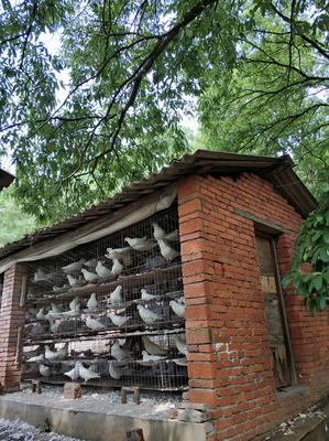 湖北省随州市曾都区白鸽蛋 食用 礼盒装