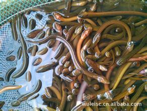 广东省广州市花都区正大9号黄鳝苗
