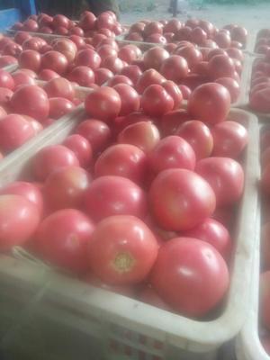 山东省聊城市莘县硬粉番茄 不打冷 大红 弧三以上