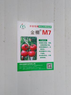 河南省新乡市原阳县金鹏西红柿 不打冷 硬粉 弧二以上