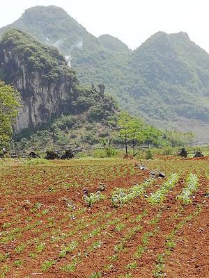 广西壮族自治区来宾市兴宾区白萝卜 0.2~1斤