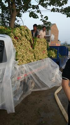 河南省周口市郸城县西芹 40~45cm 大棚种植 0.5斤以下