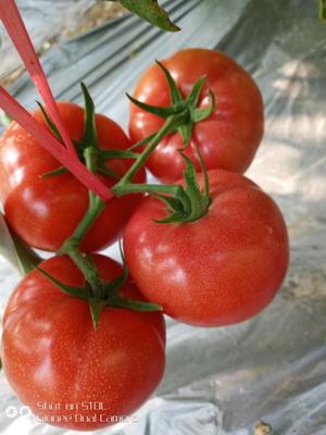 安徽省宿州市泗县普罗旺斯番茄 不打冷 软粉 弧三以上