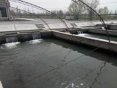 甘肃省酒泉市肃州区杂交鲟鱼 人工殖养 2-4公斤