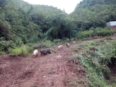 湖南省湘西土家族苗族自治州泸溪县湘西腊肉 散装
