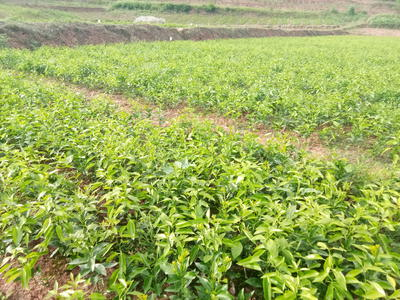 四川省内江市东兴区柑树苗 0.5米以下