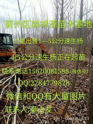 天津蓟县107速生杨
