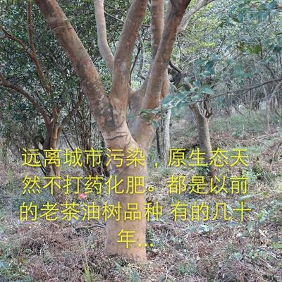 广西壮族自治区百色市隆林各族自治县现榨山茶油 5L