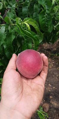 湖北省武汉市东西湖区桃树种子