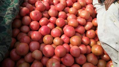 天津武清区硬粉番茄 不打冷 硬粉 弧三以上