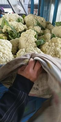 江苏省徐州市沛县有机松花菜 松散 2~3斤 乳白色