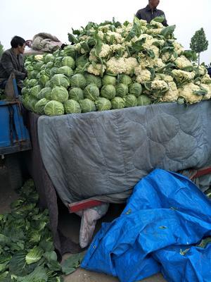 山东省潍坊市高密市有机松花菜 适中 2~3斤 乳白色