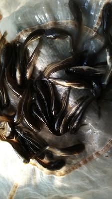 四川省眉山市东坡区大口鲶鱼 人工养殖 0.5公斤以下