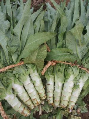河北省保定市定州市黄心大白菜 6~10斤 毛菜
