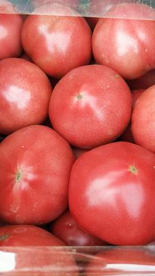 河北省保定市顺平县硬粉番茄 不打冷 硬粉 弧三以上